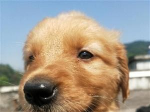 金毛狗狗转让,三个月前我在成都花了3000块钱买的。