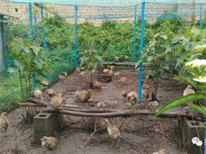山鸡降价促销,每斤20元。