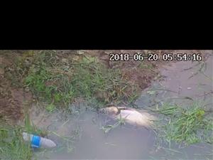 流鞍河今年又严重污染,养殖户的鱼又开始死亡!