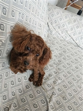 泰迪男狗?? ,一岁半了,因工作实在无法照料,忍痛出售