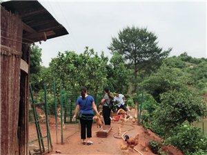 土雞、土鴨養殖