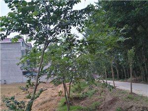 风景榆树出售