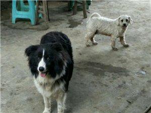 寻狗启事:麻烦大家帮我留意一下,图中两只狗狗都跑丢了。
