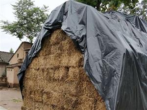 出售麦草有.雨前.雨后.联系电话18146805243