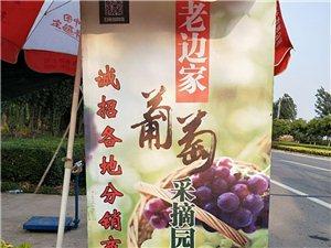 趙黃莊老邊家葡萄成熟了
