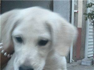 出售本人愛犬拉布拉多