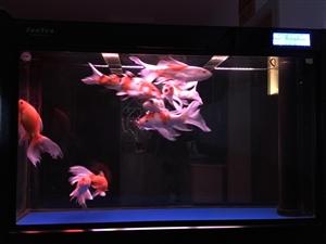 出售森森牌屏风隔断鱼缸,底滤,送鱼,养了4年的日本锦鲤全白送