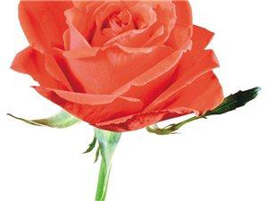 每天一学――中药玫瑰花