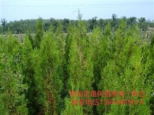 矮化挂果红富士苹果苗,户太8号葡萄苗,侧柏定植树苗。