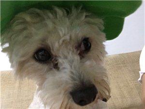 泰迪跟比熊配的狗狗,毛色是白色的夾雜著黃