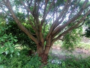 出售澳门太阳城平台本地榕树:这是2年前照片,直径有50cm,树冠有60平方,比文化广场的榕树稍小,可先看树,再...