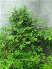 植物中的大熊猫