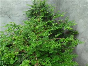 �t豆杉---植物中的大熊�