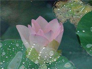 雨荷――张晓风有一次,雨中走过荷池,一塘的绿云绵延,独有一朵半开的红莲挺然其间.我一时为之惊愕驻
