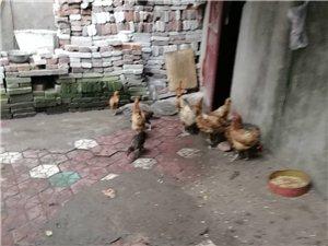 城市里可以养鸡吗?
