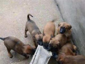 出售小崽子,出售马犬小崽子,在家不想养了