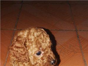 出售棕色小泰迪犬兩個月了