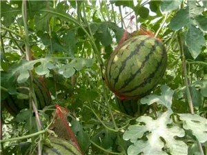早饭头王金龙家的礼品西瓜成熟,瓜沙瓤甜,欢迎进园