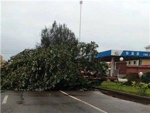 齐市昨夜一场风雨刮到参天大树