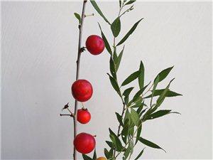 记忆中的小红果