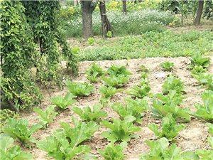 純天然無公害蔬菜