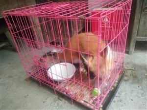 宠物狐狸2只,赤狐5个多月蓝狐3个月多几天。房东不让养。忍痛割爱低价专卖。2只都打了狂犬疫苗还有除臭...