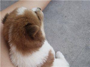 求爱狗狗的朋友领养