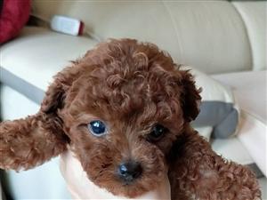 出售泰迪幼犬,自家泰迪生的狗狗