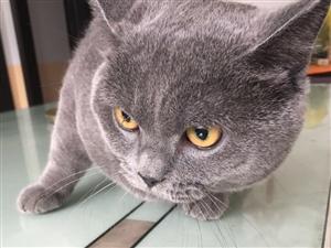 长阳纯种可爱猫猫出售