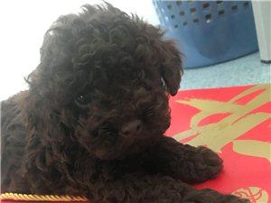巧克力泰迪幼犬