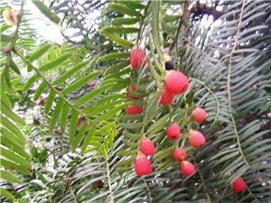 红豆杉苗木低价出售