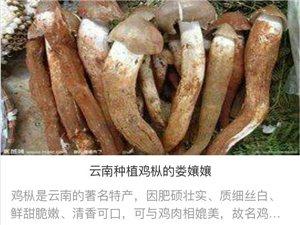 云南石林种植鸡枞的娄孃孃