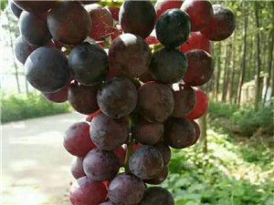 葡萄零售批發