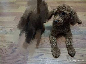 我家泰迪狗狗走丢了