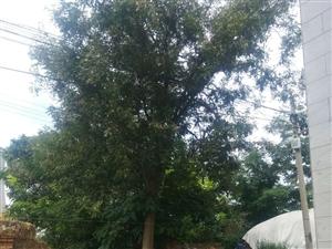 皂角树一个