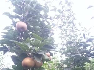 有没有大量收购梨的    自家种的   找不到销路!