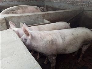 不喂任何饲料和添加剂的家庭散养猪,价格面议。