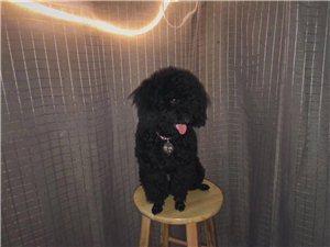 问问大家8月20号凌晨八点有没有在河婆镇韩屋楼看到狗狗??黑色泰迪,