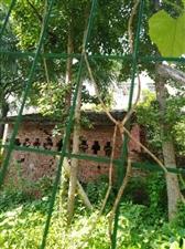 家里有兩顆白果樹出售,長的好,因為家里要把坎院壩