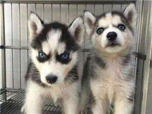 蓝眼睛三把火哈士奇幼犬出售