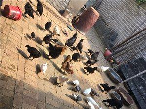 出售土黑乌鸡,鸡蛋,鸽子,