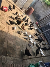 出售黑呜鸡,鸡蛋,鸽子。