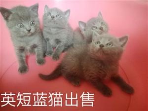 自家繁殖英短蓝猫