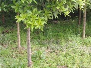 桂花树出售,有需要的致电联系:18383908163