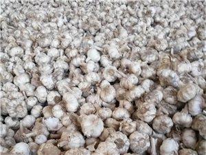 出售大蒜有3000多斤