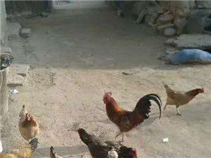 銷售農家雞