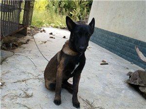 纯种黑马犬出售