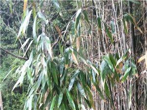 大量出售竹子