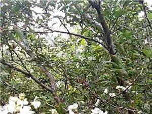 李子树开花了