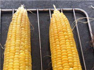 批发水果玉米10亩地左右